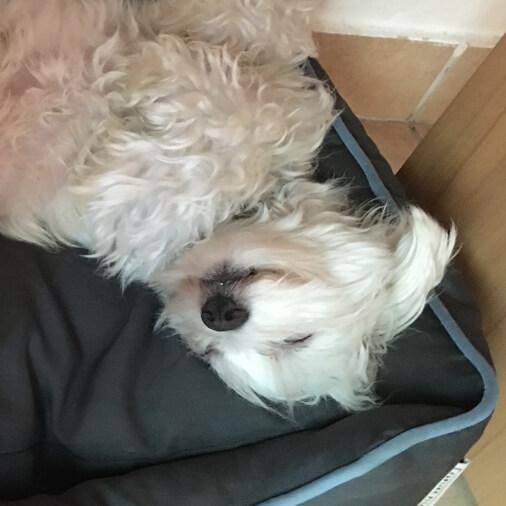 Zu sehen ist der kleine weiße Hund Jacky, wie er sich glücklich im Hundebett wälzt.