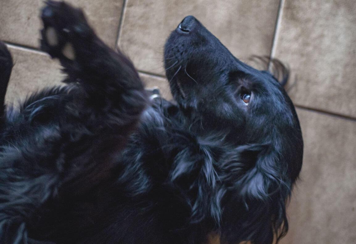 Arya liegt auf dem Rücken auf einem Fliesenboden